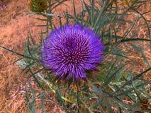 Fleur d'artichaut Image stock