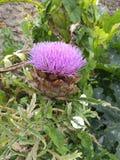 Fleur d artichaut Stock Photography