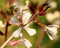 Fleur d'Arugula photo libre de droits