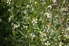 Fleur d'Arugula Usine sativa d'Eruca Floraison et formation de graine Fleur de Rucola Salade de Rocket organique de terres cultiv Images stock