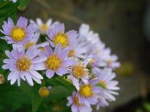 Fleur d'aster photo libre de droits