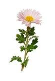 Fleur d'aster Images libres de droits