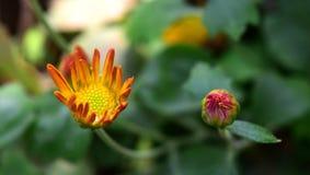 Fleur d'aster Photographie stock