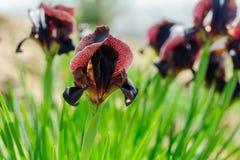 Fleur d'atrofusca d'iris Photo stock