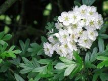 Fleur d'aubépine Image libre de droits