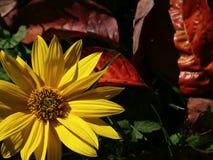 Fleur d'automne Photographie stock libre de droits