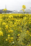 Fleur d'Awaji Photo libre de droits