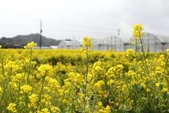 Fleur d'Awaji Images stock
