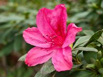 Fleur d'azalée Image libre de droits