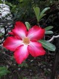 Fleur d'azalée photo libre de droits