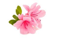 Fleur d'azalée photographie stock
