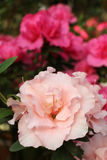 Fleur d'azalée Photo stock