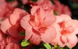 Fleur d'azalée Image stock