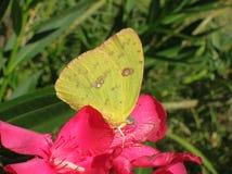 Fleur d'azalée avec le pollen jaune d'échantillonnage de papillon image stock