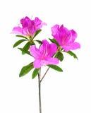 Fleur d'azalée d'isolement sur le blanc Photo libre de droits