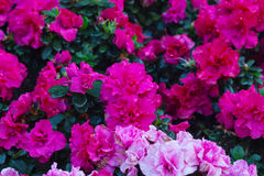 Fleur d'azalée dans le jardin Images libres de droits