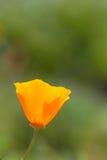 Fleur d'or de pavot de la Californie Photos stock