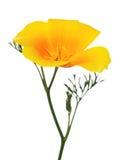Fleur d'or de pavot de la Californie d'isolement sur le blanc Photographie stock libre de droits