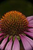 Fleur d'Echinacea photographie stock libre de droits