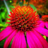 Fleur d'Echinacea Image stock