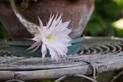 Fleur d'Echinopsis Image libre de droits