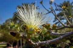 Fleur d'ellipticum de Pseudobombax Image stock