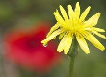 Fleur d'Ellow avec une goutte de pluie Photographie stock