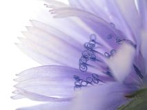 Fleur d'endive Photo stock