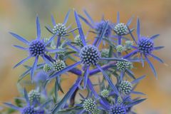 Fleur d'Eryngium Photographie stock