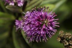 Fleur d'espèce de Hebe Images stock
