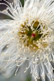 Fleur d'eucalyptus images stock