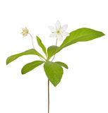 Fleur d'europaea de Trientalis Photos libres de droits