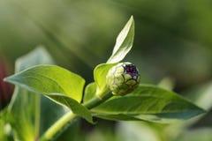 Fleur d'explosif d'été Image libre de droits
