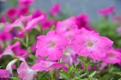 Fleur d'exserta de pétunia ou de pétunia Images stock