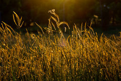 Fleur d'herbe Photo libre de droits