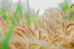 Fleur d'herbe Image libre de droits