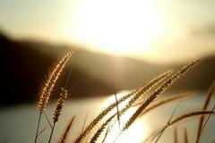 Fleur d'herbe belle Image libre de droits