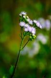 Fleur d'herbe dans le champ de maïs Image stock