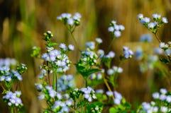 Fleur d'herbe dans le champ de maïs Photo stock