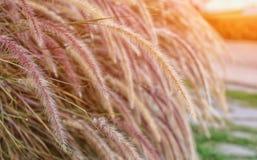 Fleur d'herbe dans le jardin Image stock