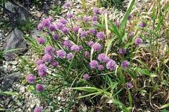 Fleur d'herbe de ciboulette épice comestible Photos stock