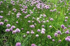 Fleur d'herbe de ciboulette épice comestible Photo stock