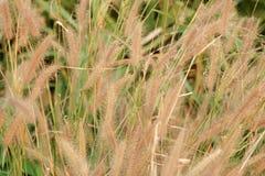 Fleur d'herbe de Poaceae Images libres de droits