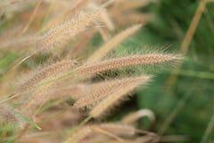 Fleur d'herbe de poaceae de Brown Photographie stock