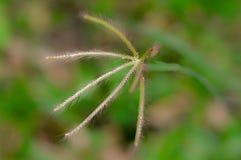 Fleur d'herbe de rallonge coudée Photos libres de droits