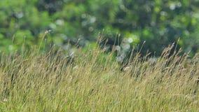 Fleur d'herbe en vent à la savane de pré banque de vidéos