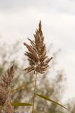 Fleur d'herbe pendant l'automne Images libres de droits