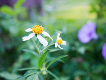Fleur d'herbe pendant le matin Photos libres de droits