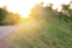 Fleur d'herbe sauvage de nature au coucher du soleil d'or Profondeur de zone photographie stock