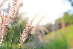 Fleur d'herbe sauvage de nature au coucher du soleil d'or Profondeur de zone photographie stock libre de droits
